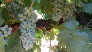 Chardonnay Lodi Clay 20170712_171211_resized